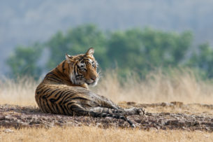 Bengal Tiger is on the ground and is looking back into the camera. (copyright Anette Mossbacher)
