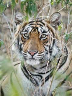 A Bengal Tiger photograph of his face. The wild animal stares into the camera through the bushes. (copyright Anette Mossbacher)