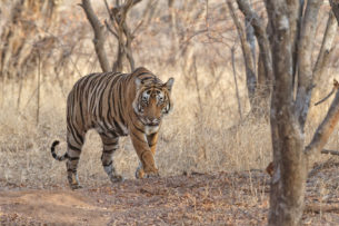 Bengal Tiger is walking toward the camera. You can see how he is sneaking through the forest. (copyright Anette Mossbacher)