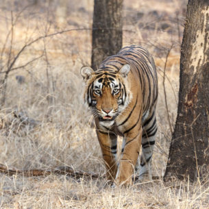 Bengal Tiger walks through the forest, looking into the camera. The animal is passing a large tree. (copyright Anette Mossbacher)