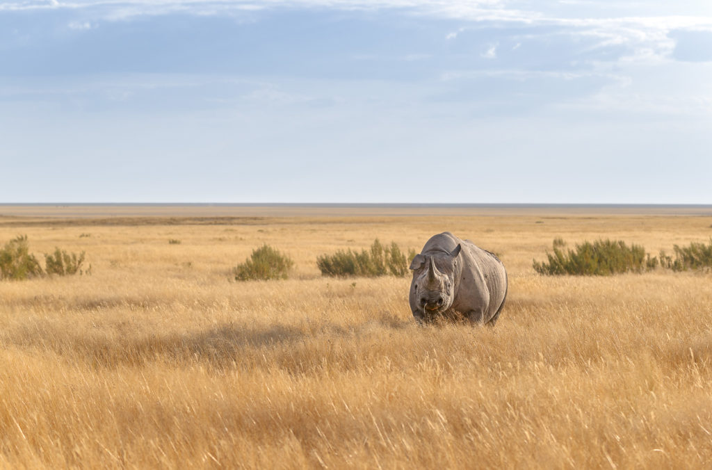 Impressive elusive black rhino stands in grassland with the vastness of the savannah behind it. (copyright Anette Mossbacher)