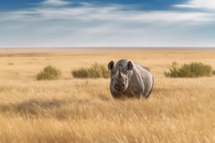 That rare and elusive black rhino stands in the endless savannah in grassland — endangered animal. (copyright Anette Mossbacher)