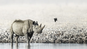 Elusive African Black Rhinoceros Fine Art Photograph. A massive Black Rhino is standing in water. (copyright Anette Mossbacher)