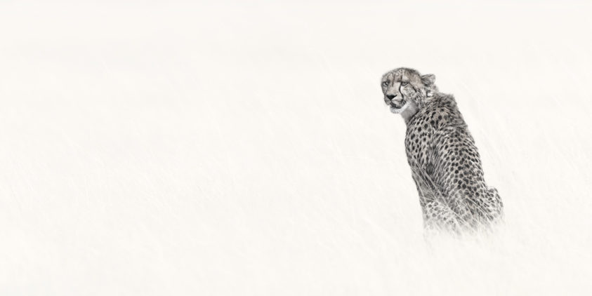 African cheetah sits in high grass alone in this fine art wildlife photograph. (copyright Anette Mossbacher)