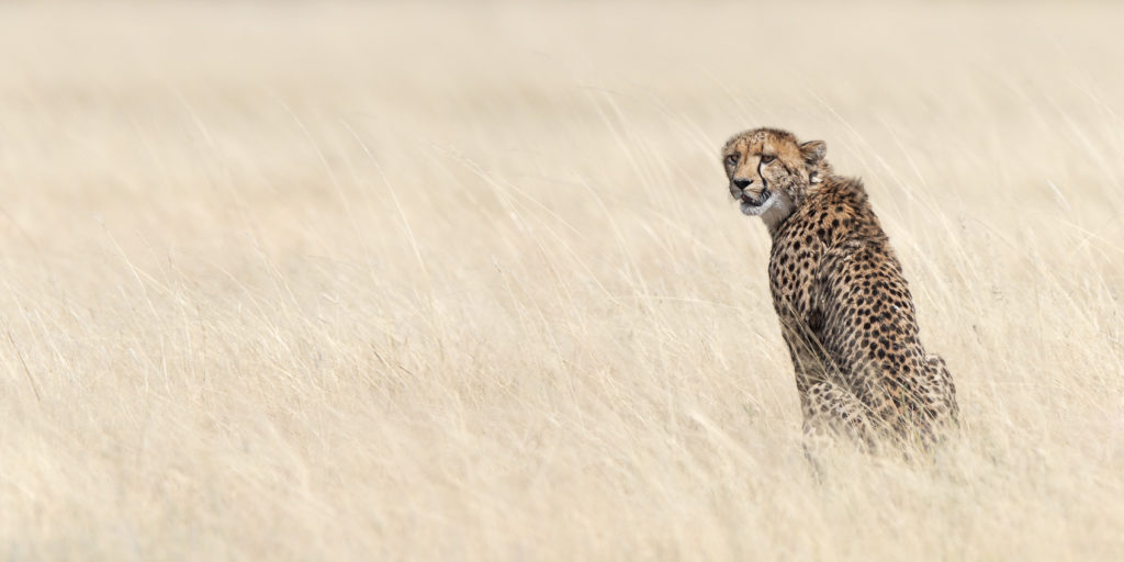 A wildlife photograph in color features a beautiful cheetah sitting in dry grassland, the Savannah. (copyright Anette Mossbacher)