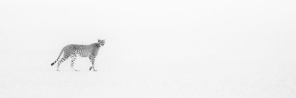 A black and white fine art wildlife photograph features the cheetah walking on a salt pan. (copyright Anette Mossbacher)