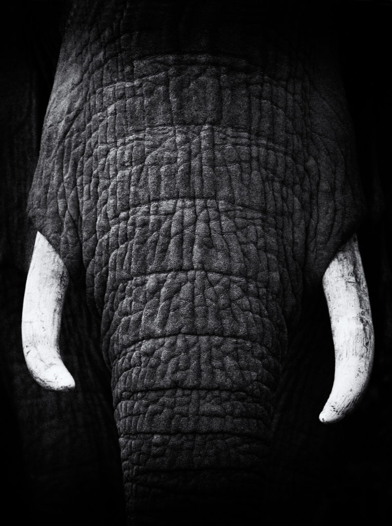 Wildlife fine art African Elephant Bull Portrait. Black and white photography of its tusks. (copyright Anette Mossbacher)