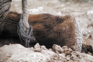 An African elephant bull knees down on the graveled sand in this wildlife photograph in color. (copyright Anette Mossbacher)