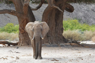 An African wildlife photograph in color features an elephant that walks through a dry riverbed. (copyright Anette Mossbacher)
