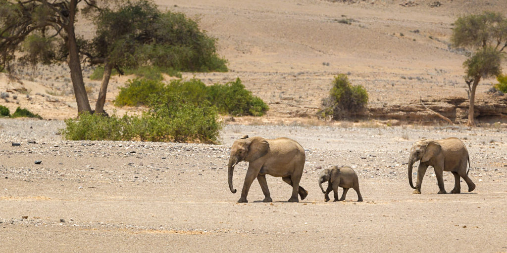 A Wildlife photograph in color features African Desert elephants walk through a dry riverbed. (copyright Anette Mossbacher)