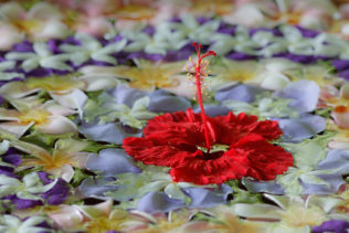 A beautiful flower arrangement with a Scarlett red hibiscus floating in water. (copyright Anette Mossbacher)