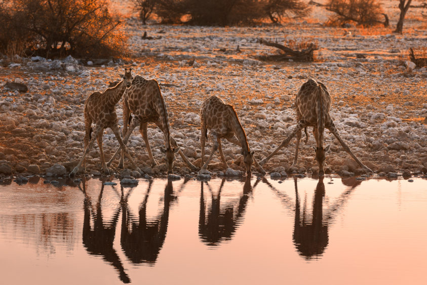 These four graceful giraffes are drinking at the waterhole while the sun sets across wild Namibia. (copyright Anette Mossbacher)
