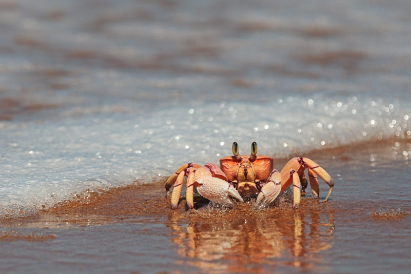 The ghost crab has a red, orange, and pink hue on its shell. It is sitting on the sand. (copyright Anette Mossbacher)