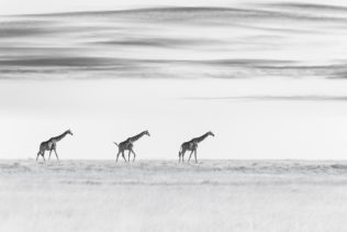 Three beautiful Giraffes walk in the desert shows two giraffes in identical positions. B&W photo. (copyright Anette Mossbacher)