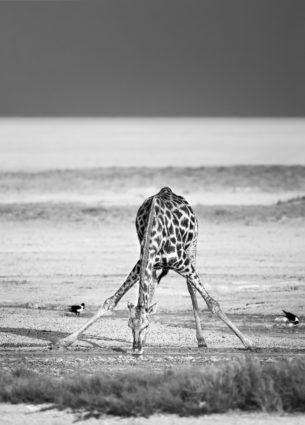 A Giraffe is drinking water in the desert in this fine art black and white photograph. (copyright Anette Mossbacher)