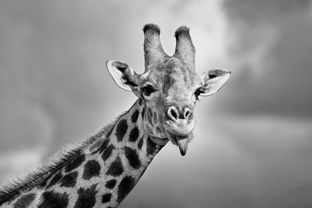 A Giraffe photograph in B&W shows the face of the animal sticking out its long tongue. (copyright Anette Mossbacher)