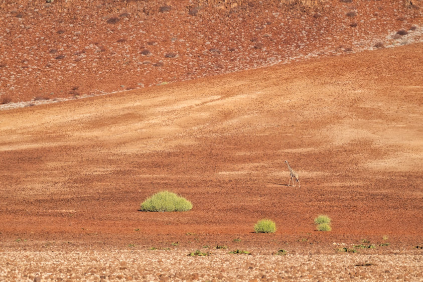 An impressive giraffe is walking across a red rock field — the beautiful colors of the rock fields. (copyright Anette Mossbacher)