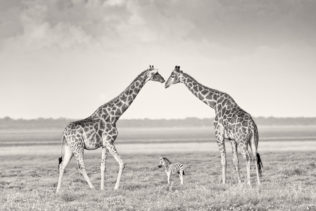 This wildlife photograph shows two Giraffes creating an arch for a baby Zebra. (copyright Anette Mossbacher)