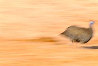 That funny Helmeted Guinea fowl is running from the left to the right in this photograph. (copyright Anette Mossbacher)