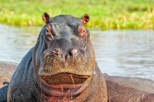 That hippopotamus portrait is a beautiful depiction of this animal's hot-tempered nature. (copyright Anette Mossbacher)