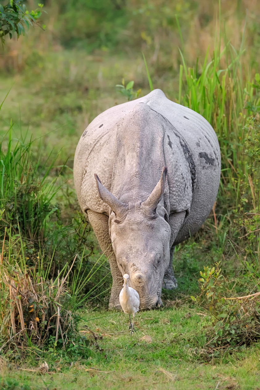 The beautiful Indian rhinoceros is grazing through the grassland. An egret is ahead of the Indian rhino. (copyright Anette Mossbacher)