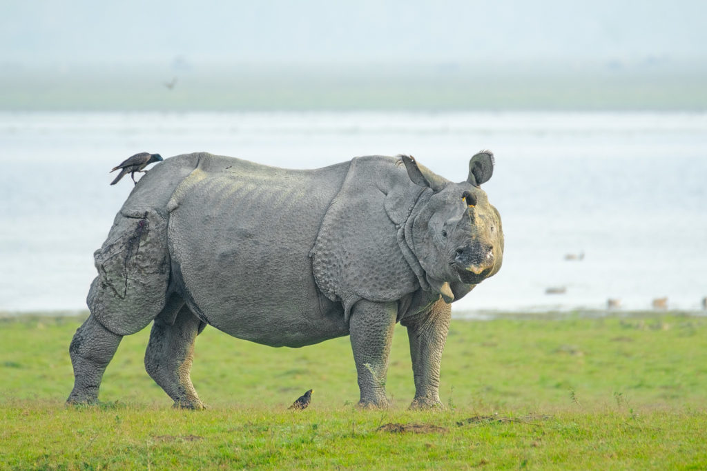 Indian rhinoceros bull standing at the riverbank in Assam. Two black birds are sitting on the rhino. (copyright Anette Mossbacher)