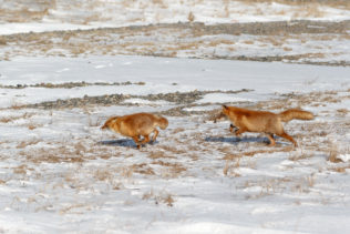 One Ezo fox hunts another fox, their legs up in the air with long jumps. (copyright Anette Mossbacher)