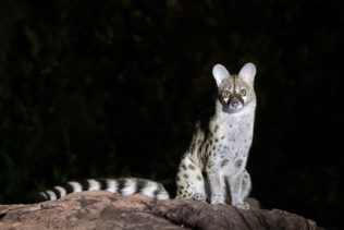 The beautiful large-spotted Genet sits at night on a rock looking into the camera. (copyright Anette Mossbacher)