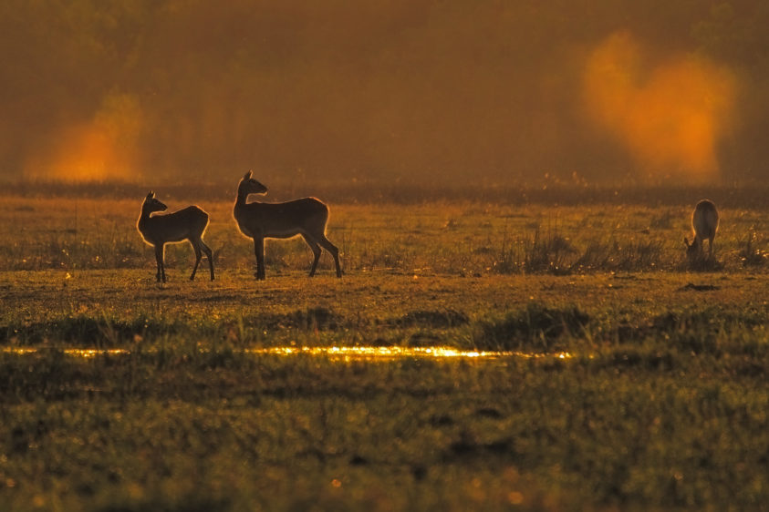 As the Lechwe stand in sunrise light, the golden orange hues reflect off the surfaces in the environment. (copyright Anette Mossbacher)