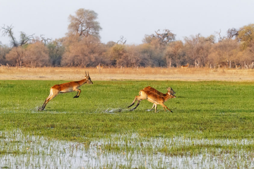 The Lechwe are jumping through the water in marshland. The last animal is jumping high. (copyright Anette Mossbacher)