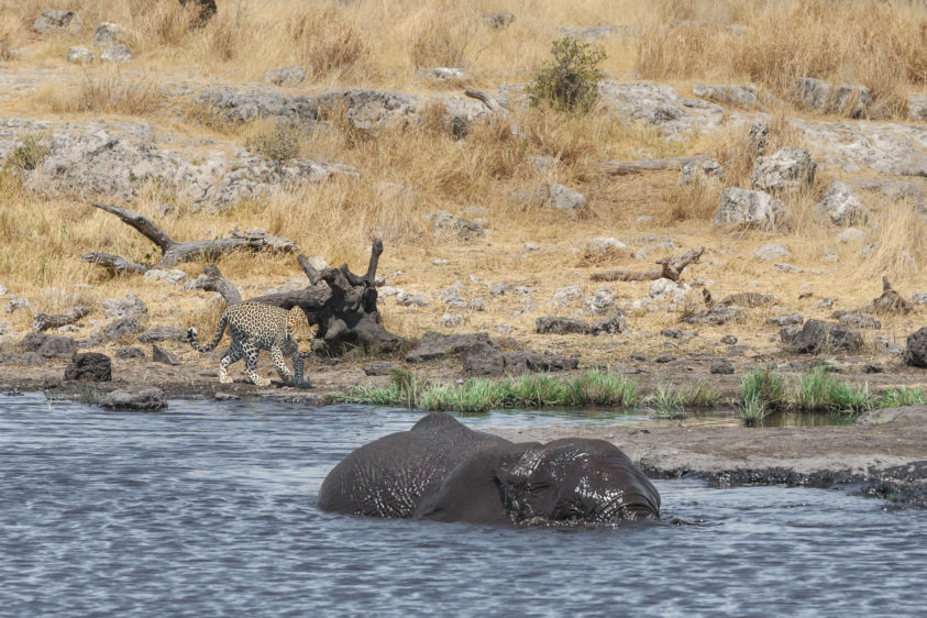 Leopard sneaking up on an African elephant on a waterhole. The elephant does see the leopard. (copyright Anette Mossbacher)