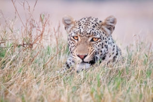 That African leopard is showing us a tooth in this color wildlife portrait photograph. (copyright Anette Mossbacher)
