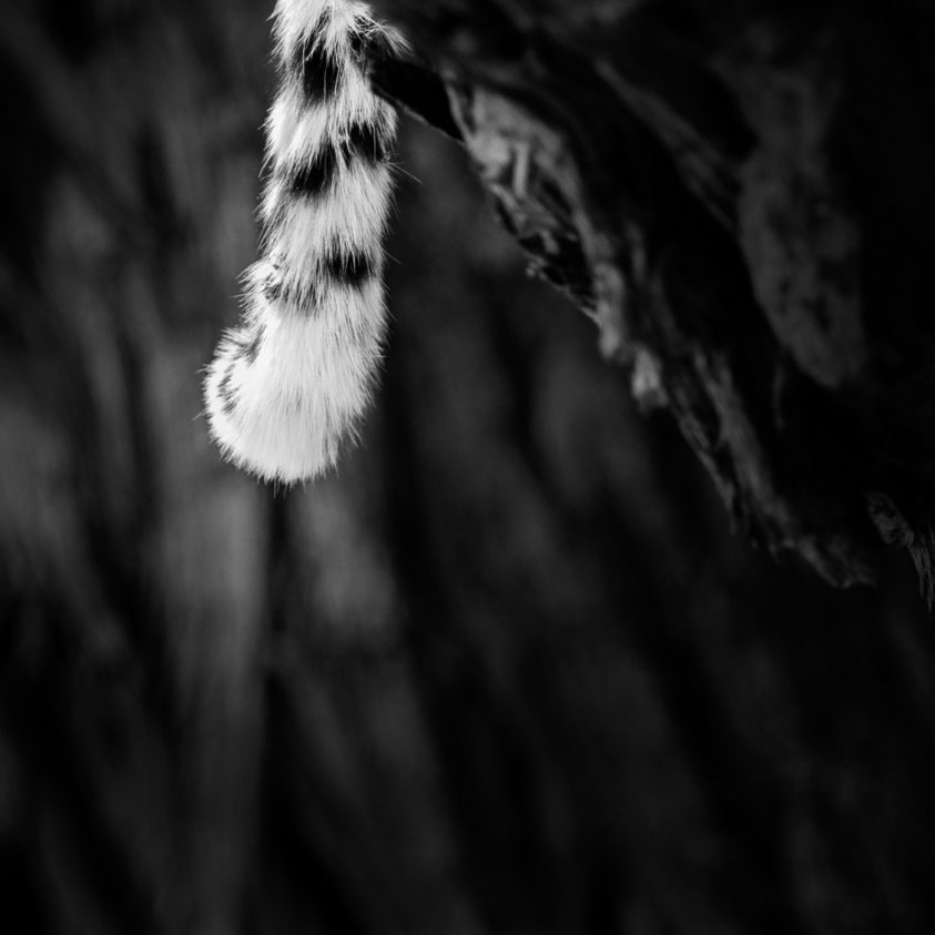 An African Leopard tail is hanging down a branch in that B&W wildlife fine art photograph. (copyright Anette Mossbacher)
