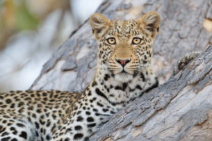 A wildlife photograph in color of a magnificent African Leopard perched in a tree. (copyright Anette Mossbacher)