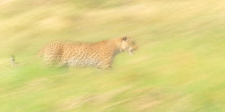 The African leopard in this fine art photograph is taken with panning to capture motion. (copyright Anette Mossbacher)