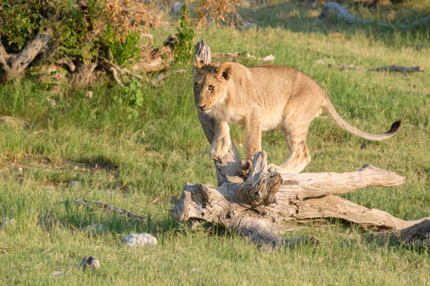 Beautiful lion cub standing on a big branch focusing on its siblings. The cub gets ready to pounce. (copyright Anette Mossbacher)