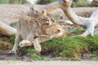Impressive lioness and her cute cub are playing beside a waterhole. The cub has its tongue out. (copyright Anette Mossbacher)