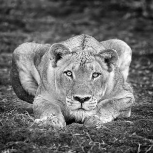 A Lioness is staring intensely into the camera. Black and white lion photograph print. (copyright Anette Mossbacher)