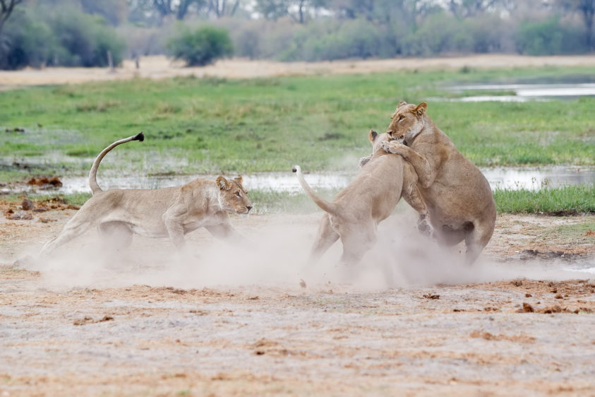 An action wildlife photograph shows three African lionesses play fighting along a river. (copyright Anette Mossbacher)