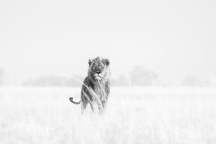 A Lion photo black and white of a majestic male standing in the Savannah. (copyright Anette Mossbacher)