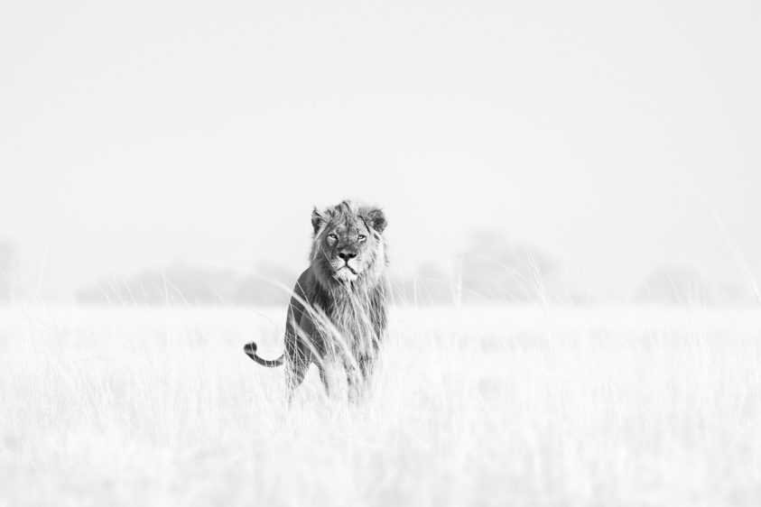 Fine art wildlife photograph in B&W of a majestic African male lion in the Savannah. (copyright Anette Mossbacher)