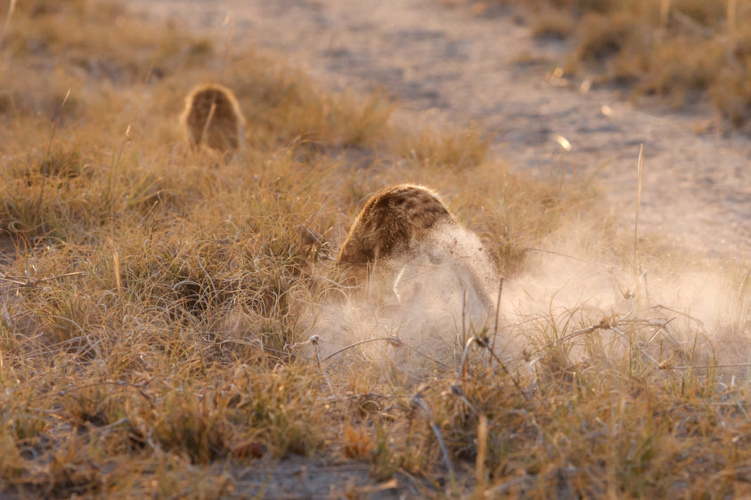 A cute meerkat is digging for food and leaving a dusty cloud around its body. (copyright Anette Mossbacher)