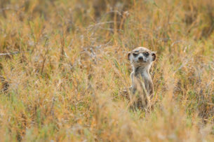 Meerkat has a blade of grass on its face. The funny animal looks straight into the camera. (copyright Anette Mossbacher)