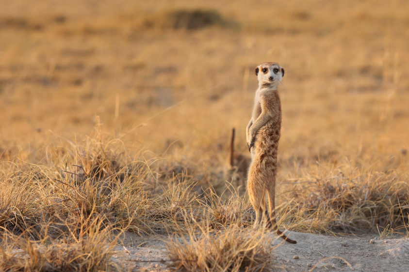 Meerkat lookout, the animal stands between the bushes. This meerkat is looking for predators. (copyright Anette Mossbacher)