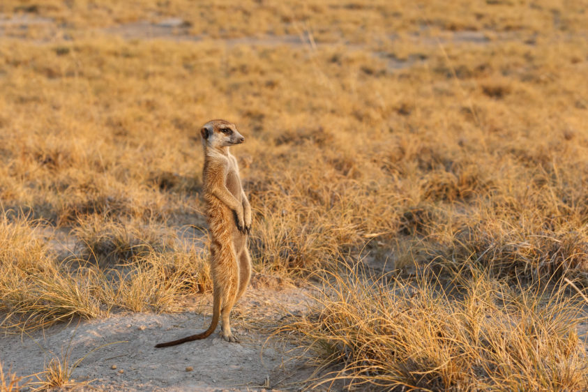 Meerkat Outlook in sunrise light. The animal stands full length gazing the landscape for predators. (copyright Anette Mossbacher)
