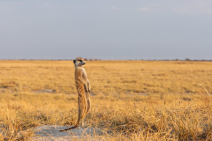 A Meerkat is standing on a hill, observing the landscape for predators. It stands on its hind legs. (copyright Anette Mossbacher)