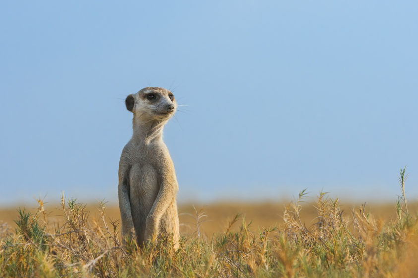 A Meerkat sentry on the lookout to see any possible threats coming towards the community. (copyright Anette Mossbacher)