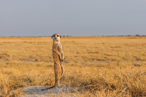 A Meerkat stands on its hind legs while observing the area for predators. (copyright Anette Mossbacher)