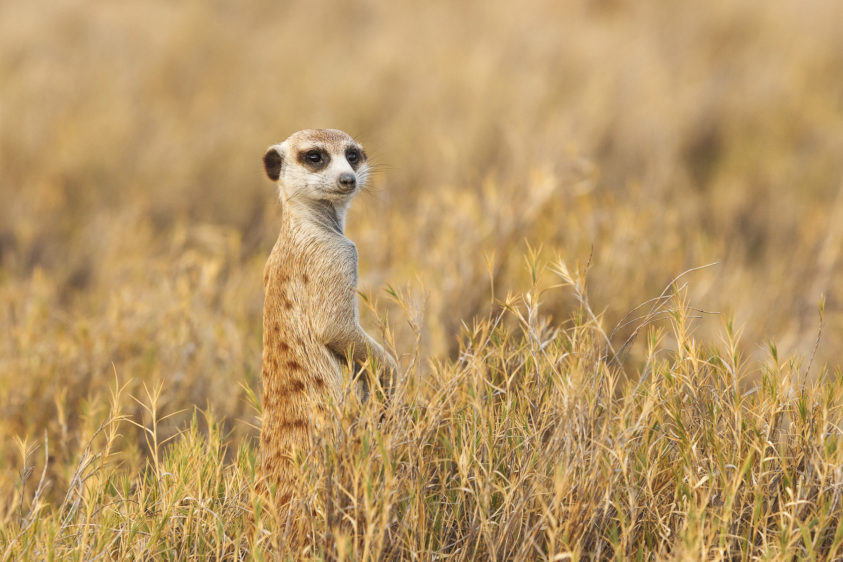 A Meerkat stands in a bush. The animal is a sentry and looks for potential predators. (copyright Anette Mossbacher)