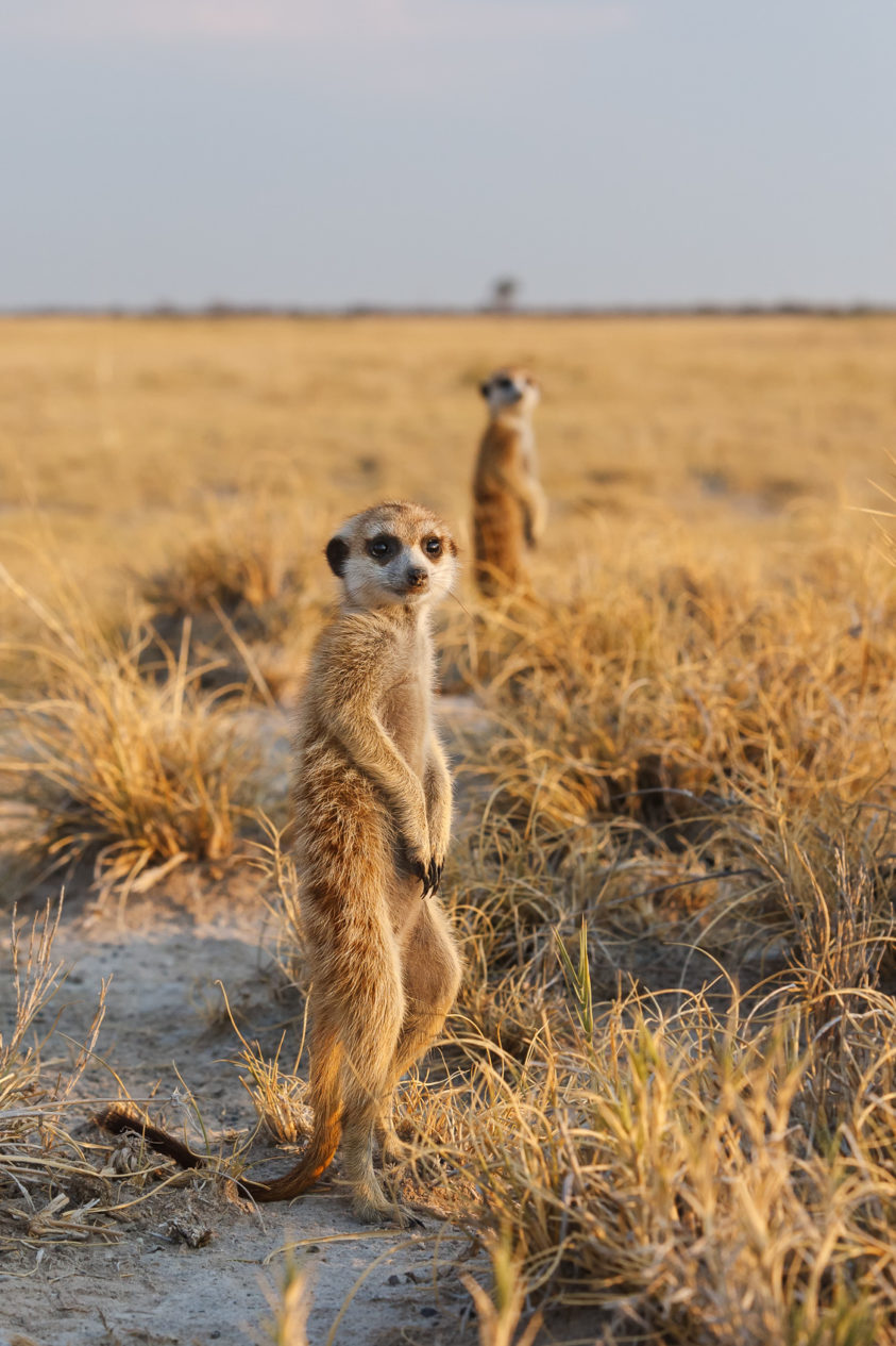 Cute Meerkats look for predators while they stand in a row upright on their hind legs facing. (copyright Anette Mossbacher)